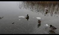 Antis čiuožia ledu