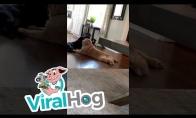 Šuo ploja galinėmis kojytėmis