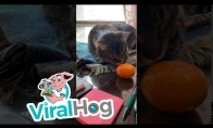 Smalsus katinas nagrinėja vaisių