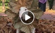 Šuo - lapų karalius