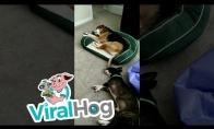 Labai kietai miegantys šunys