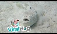 Labai reta ir nuodinga žuvis