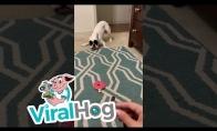 Šunytis nenori susipažinti su gyvate