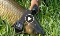 Vyriškis uždeda GoPro kamerą ant žuvies, o ji jam nufilmuoja povandeninį gyvenimą