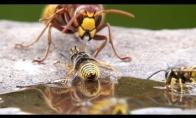 Didžiulis hornetas trukdo bitėms rinkti nektarą