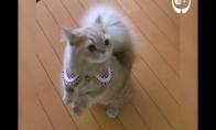 Katė su voverės uodega