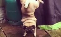 Labai keistas šuns sisiojimo būdas