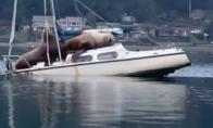 Jūrų liūtai okupavo valtį