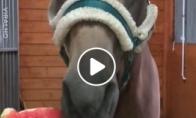 Arklys mėgaujasi arbūzu