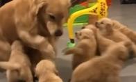 Retriveris bando išvengti šuniukų bandos