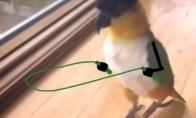 Papūga šokinėja per virvutę