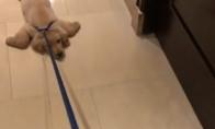 Šuo atsisako eiti pasivaikščioti